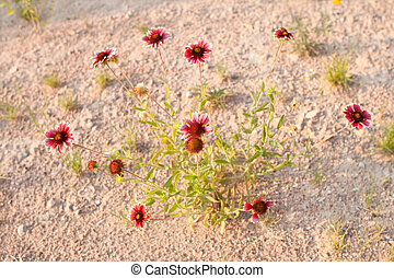 Gaillardia aristata Growing in the Desert, New Mexico -...