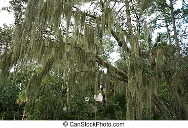 Spanish Moss Hanging from Live Oak, Hilton Head, South...