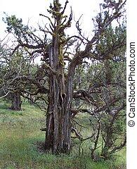 Juniper Tree - Old knarled Juniper tree