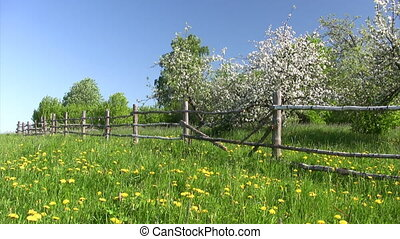 Apple tree in blossom - Apple-tree garden with wooden fence,...
