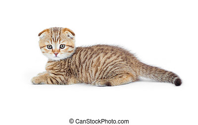 Striped Scottish kitten fold pure breed lying isolated
