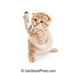 Striped Scottish kitten fold pure breed playing ball isolated