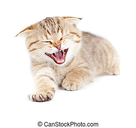 Yawning striped Scottish kitten lying isolated