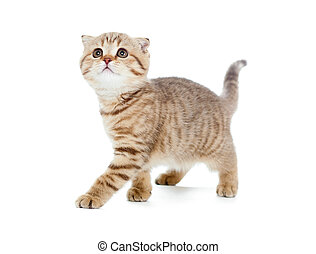 walking kitten or cat striped Scottish fold isolated studio...