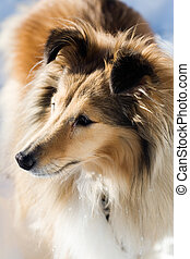 Sheltie looking at something outdoors in winter