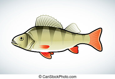 Perch illustration - Vector illustration of a perch isolated...