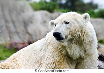 Polarbear - Ursus maritimus - looking backward