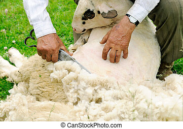 Shearing Sheep - Hand clippers are used to shear a sheep on...