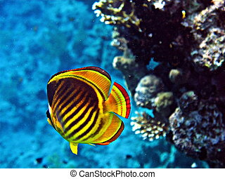 Stripped butterfly fish
