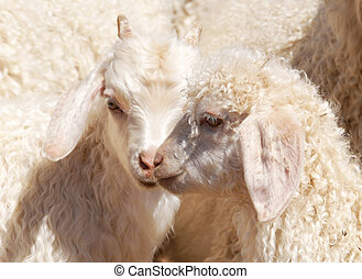 Angora kids - Close up of two Angora goat kids showing off...