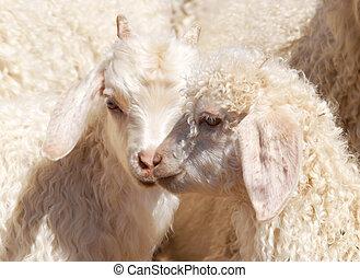 Angora kids - Close up of two Angora goat kids showing off...