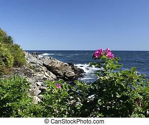 Maine Ogunquit sea rose - Maine scenic sea rose at Ogunquit...