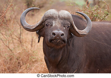 african cape buffalo in Kruger National Park, South Africa