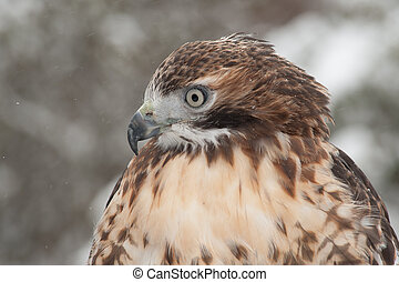 Red Tail Hawk - Close up color image of red tail hawk in the...