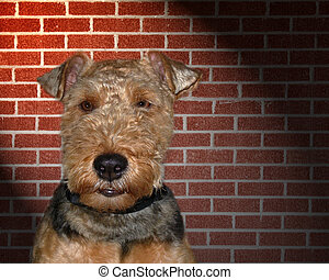 welsh terrior - Welsh terrier with red brick background.