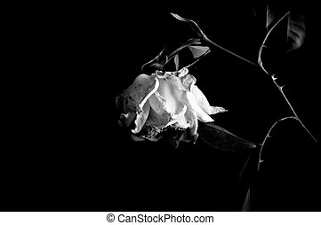 Closeup image of withered rose. Isolated on black...