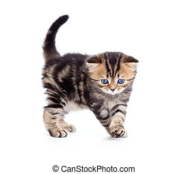 tabby british little kitten looking down isolated