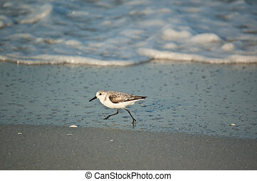 Sanderling Running on a Florida Beach in the Morning - A...