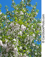 Poplar branches with seed tufts flying - Poplar branches...