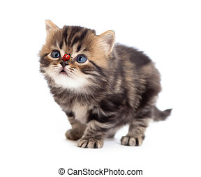 tabby kitten and ladybird on on nose isolated - tabby...