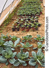 vegetables cultivation - young plants growing in greenhouse...