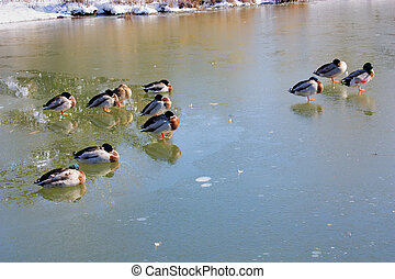ducks in the frozen lake - ducks and mallards in the frozen...