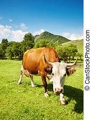 有角, 母牛