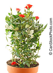 shrub roses - bush blooming red roses isolated on white...