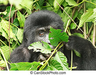 Eastern mountain gorilla Bwindi Impenetrable Forest, Uganda...
