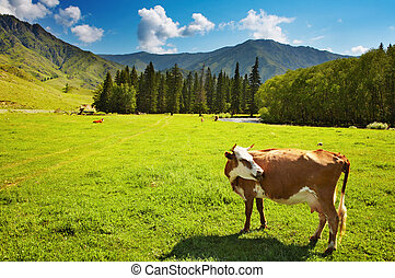 Grazing cow - Rural landscape with grazing cow