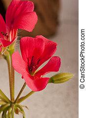 Geranium flower - Pink geranium flower in the wild catch.