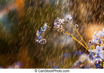 Forget-me-not flower in the rain macro