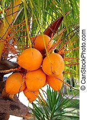 cocos, palma, árvore, maduro, amarela, fruta