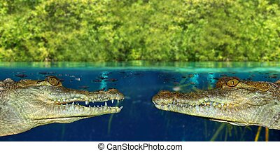 Two crocodile face each other in mangrove swamp