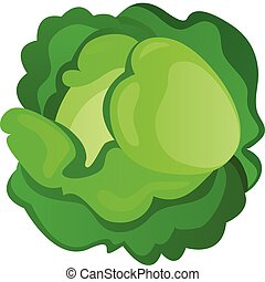 Cabbage - Vegetable