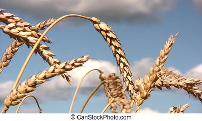 Close-up of stalk of wheat - Ripe wheat ready to be...