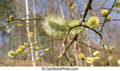 Budding of tree, springtime - Budding of willow tree...