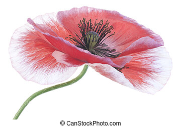 poppy - Studio Shot of Red and White Colored Poppy Isolated...