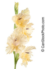gladiolus - Studio Shot of Yellow Colored Gladiolus Isolated...