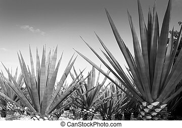 agave, tequilana, planta, mexicano, Tequila, licor