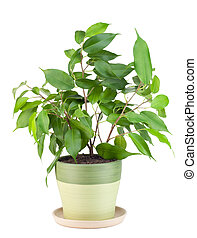 "Sapling a favourite indoor plant ""Ficus"" - Sprout of..."
