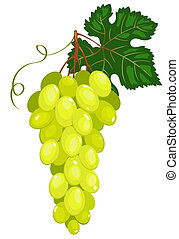 Cluster of dark green grapes. Isolated on white. Vector...