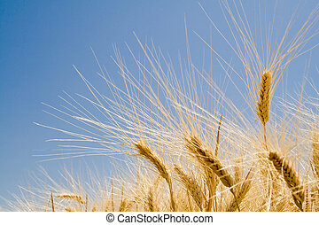 Mature Wheat Ears - Wheat Ears waiting for harvest, deep...