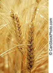 Summer Wheat - Mature wheat ears in the summer light