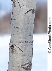 Bark of the Poplar Tree with winter snow background