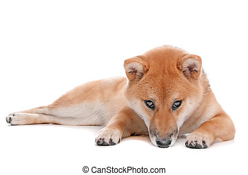 Shiba Inu dog in front of a white background