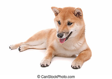 Shiba Inu dog in front of a white background - Japanese...