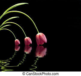 Trio of fresh spring red tulipsreflected in water on black...