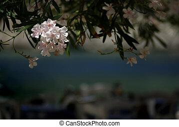Oleander - Pink oleander flower lit by sun in front of...