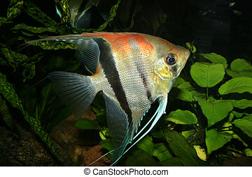Angelfish (Pterophyllum scalare) in the fish tank